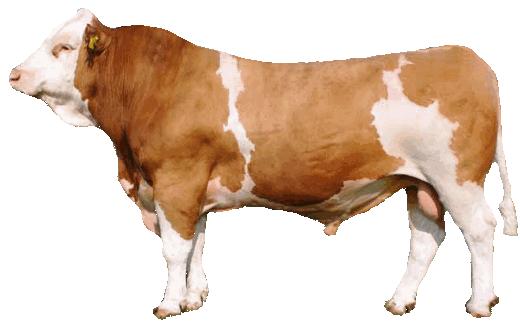 бык-производитель