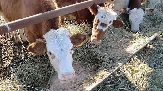 корм для коровы