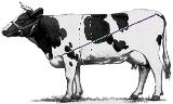 вес крс по промерам | таблица измерения веса крс