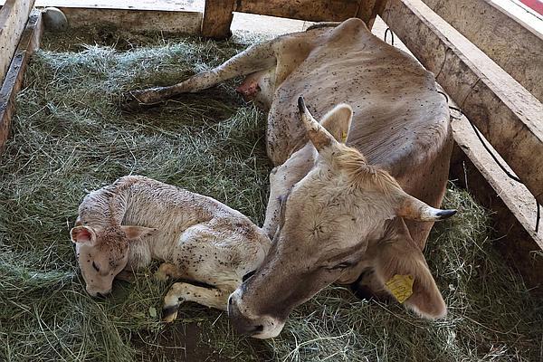 Беременность коровы сколько месяцев