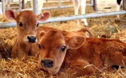 уход за новорожденным теленком